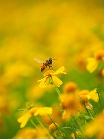 黄色い花、ヘレニウムとミツバチ
