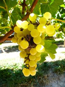 ワイナリーの葡萄畑で実った白ブドウの房クローズアップ
