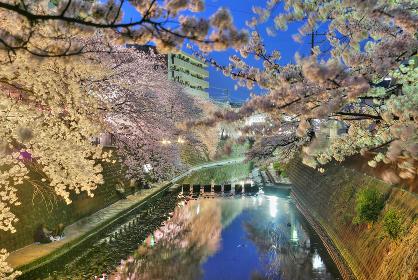 横浜を流れる大岡川の弘岡橋と観音橋の間の夜桜