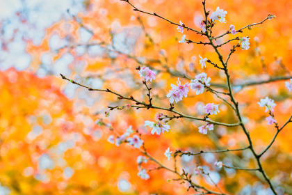 冬桜と紅葉(大分県)