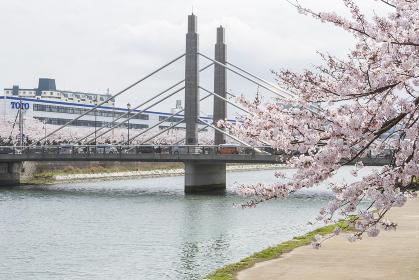 紫川沿いの桜と豊後橋(音の橋) 福岡県北九州市
