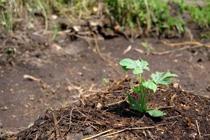 盛り土の上で育つスイカの苗
