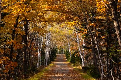 日本の北海道東部、屈斜路湖近くの紅葉した林