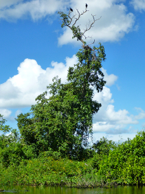 ボリビア・ルレナバケのアマゾンジャングルツアー用ボートから見た独特な形状の木