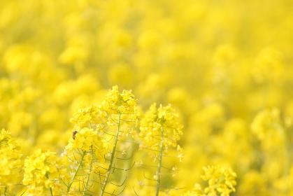 一面に咲く菜の花畑