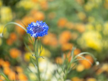 初夏の青い花 4月