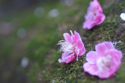 岩苔と梅の花