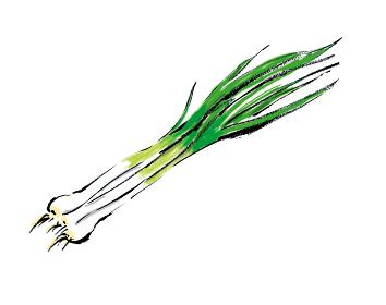 和風手描きイラスト素材 野菜 青ネギ ねぎ