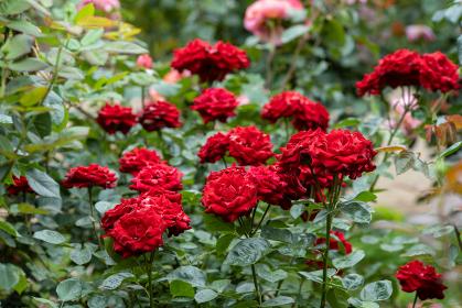 梅雨空の赤いバラ