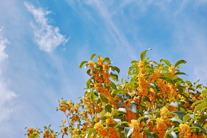 オレンジ色で強い香りのキンモクセイの花と白い雲のある青空