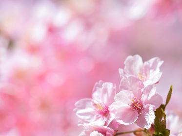満開のサクラの花