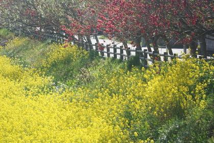 菜の花と桃の花