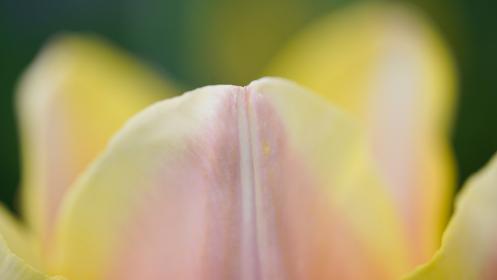 淡い色のチューリップの花びら