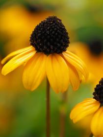 黄色い花ルドベキア