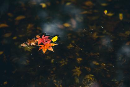 水に浮かぶモミジの葉 12月