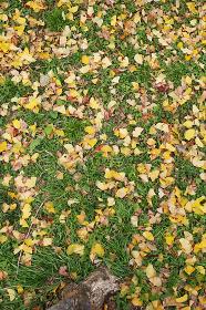 緑の草地に散った銀杏の黄色い落葉
