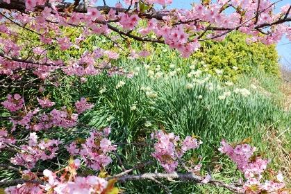 河津桜とニホンスイセンの花