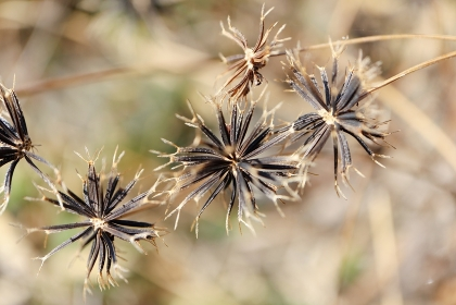 ひっつき虫、くっつき虫 センダングサ属の針状の種子
