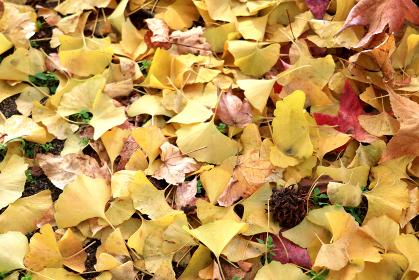 敷き詰められた落ち葉 7 イチョウとフウの実