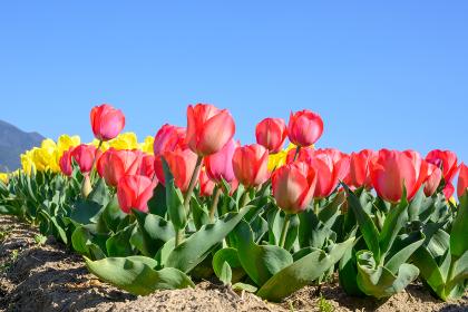 春の青空とカラフルなチューリップ