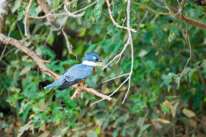 Ringed kingfisher on the nature in Pantanal, Brazil