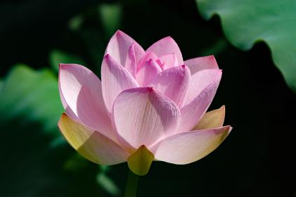 極楽浄土に咲く花
