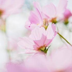 淡いピンク色のコスモス