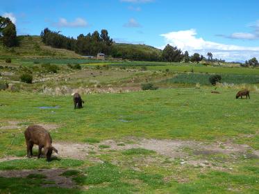 放牧されながらのびのびと草を食べる複数の豚