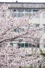 桜と学校の校舎