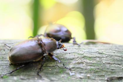後ろ姿のオスと横を向くカブトムシのメス