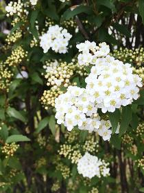 コデマリの花 4 縦