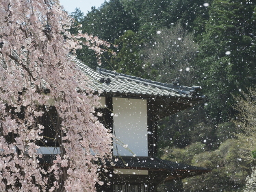 美しい桜吹雪 信州 舞台桜
