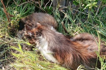 草むらで仲良く眠る2匹の猫