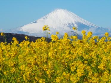 二宮・吾妻山からの菜の花と富士山