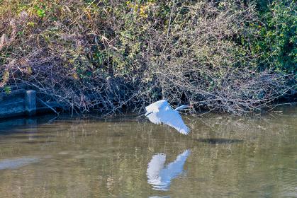 湖沼を飛ぶ白鷺