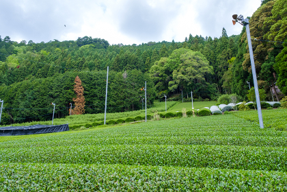 京都府和束町 新緑の茶畑 新茶 一番茶 5月