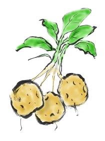 手描きイラスト素材 植物 じゃがいも, ジャガ芋, ジャガイモ, 馬鈴薯
