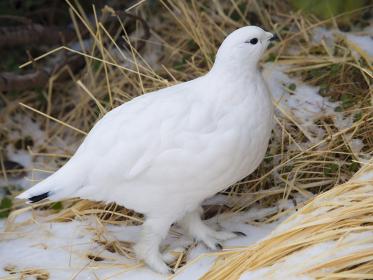 ライチョウ雌の冬羽