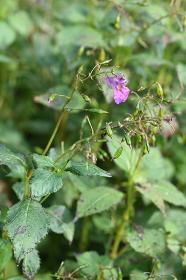 ツリブネソウ(釣り船草・吊舟草)の花