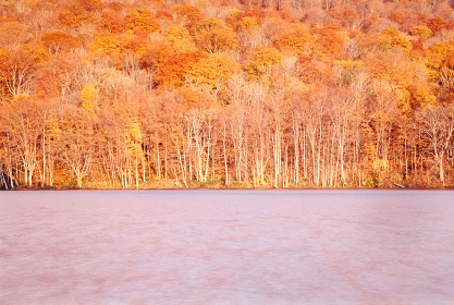 青森県八甲田山麓にある蔦沼 紅葉の森に朝日が当たり湖全体が黄金色に染まる