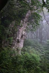 縄文杉、屋久島、鹿児島