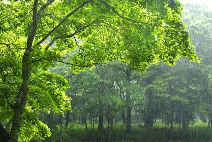 新緑と雨 雨雲の隙間から日の光が射しこんでくる