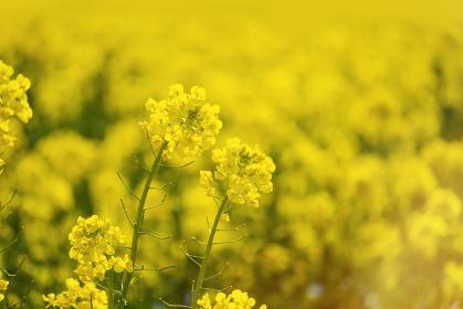 ル 満開の菜の花畑の背景素材