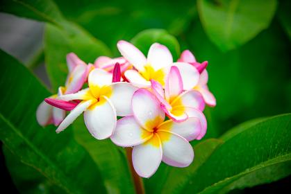 屋久島で見かけた花(プルメリア)