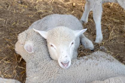 仲良しの羊二匹