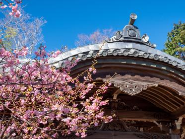 神奈川県二宮町の河津桜 2月 吾妻神社