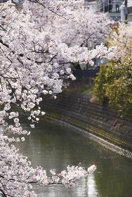 神奈川県 横浜市 大岡川の桜