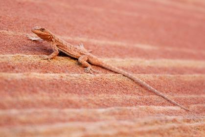 アメリカ・グランドサークルにて保護色で赤茶色の地層と同化している野生動物のトカゲ