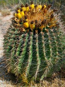 アメリカ・アリゾナ州のサワロ国立公園にてイエローの花が咲いた丸いタマサボテン