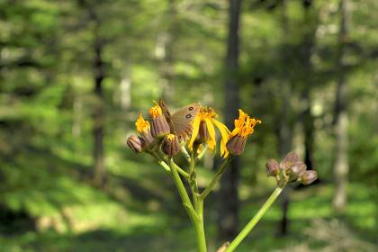 入笠山・登山道から眺める夏の植物と蝶(長野県・日本)
